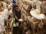 Petani memanen jamur tiram di Kasreman, Ngawi, Jawa Timur, Rabu (9/8)